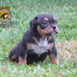American Bully Micro Macho Triblack